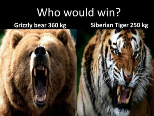 Who would win? Grizzly bear 360 KG vs Siberian Tig