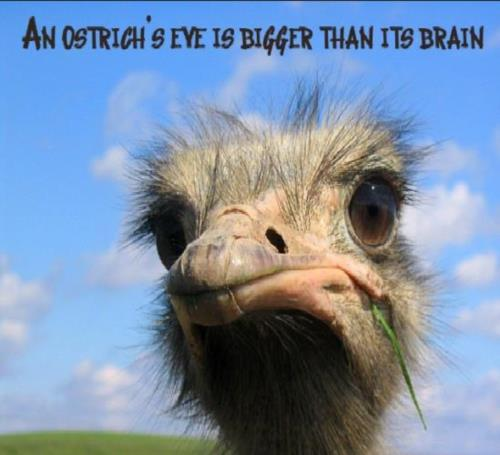 An ostrich#39;s eye is bigger than it#39;s brain