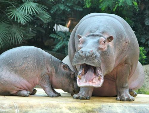 One Hippo...Two Hippo....